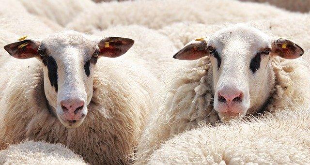Paroles de moutons