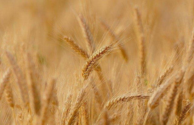 Si le grain de blé ne meurt…