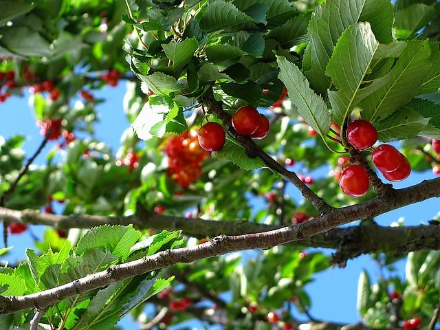 L'arbre et ses fruits